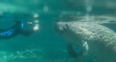 Snorkeling with Florida manatees