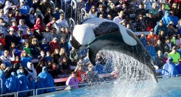 Tilikum's health begins to deteriorate at SeaWorld