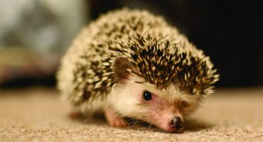 Hedgehogs become Tokyo's latest cafe culture cuddle