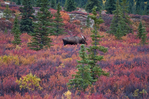 Bull moose in Denali National Park, Alaska