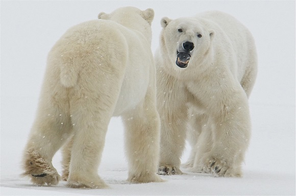 Polar bears in the snow in Churchill, Canada