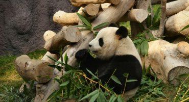 Giant panda gives birth in Macau…to twins!