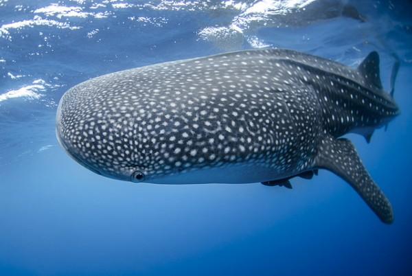 belize-whaleshark