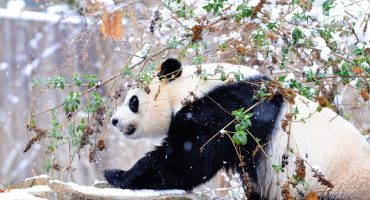 The giant panda is no longer an endangered species!