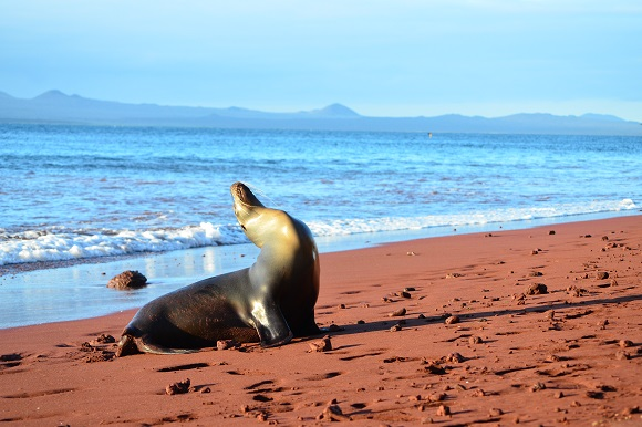 Sea Lion, Galapagos Islands
