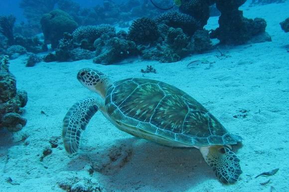 Sea turtle costa rica