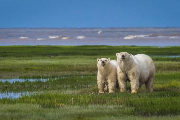 Polar bears Canada Manitoba