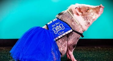 San Francisco International Has Introduced An Adorable Therapy Pig