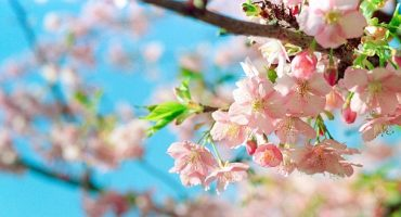 Cherry Blosson Season Has Arrived Early In Japan – And It's Stunning