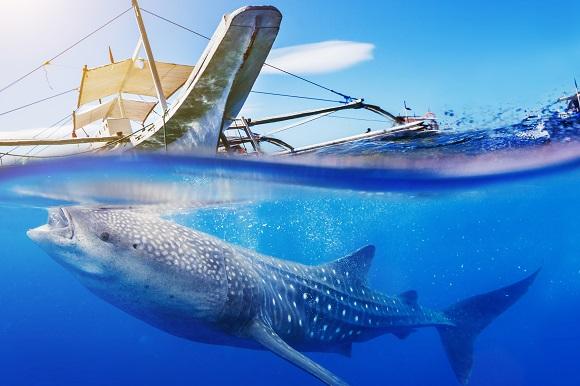 Whale Shark, Cebu, Philippines