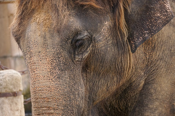 Asian elephant face close up