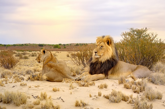 Lions in the Kalahari Desert