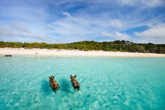 Pig Beach in the Bahamas