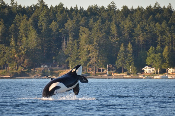 Southern Resident Killer Whale, Washington State