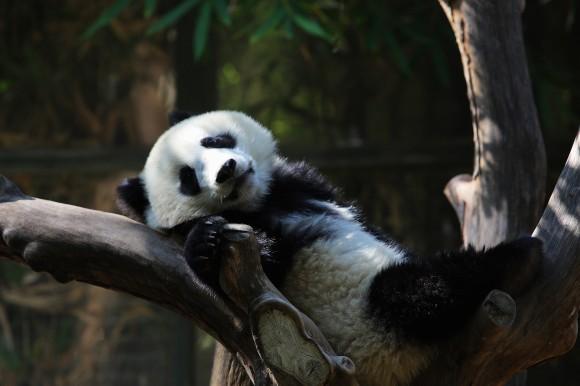 San Diego panda