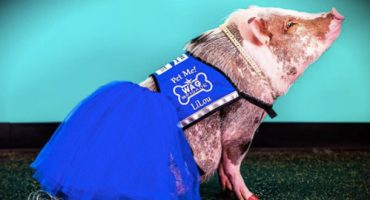 "Introducing SFO Airport's ""Therapy Pig"""